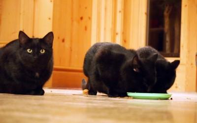3 Katzen mit Napf